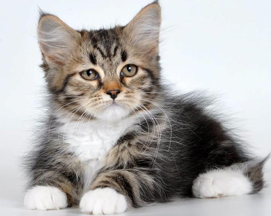 I colori del gatto siberiano - Immagine del gatto a colori ...