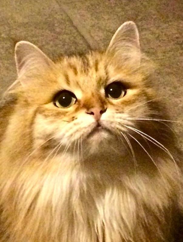 Come Adottare Un Gatto Siberiano